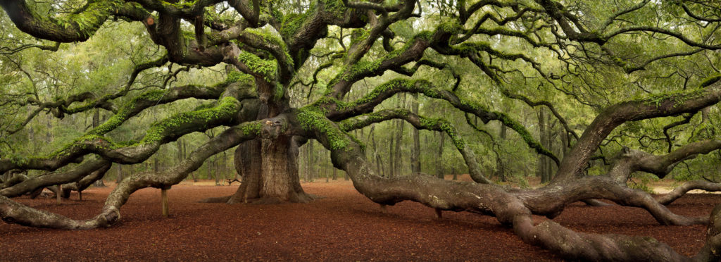 The Angel Oak in South Carolina